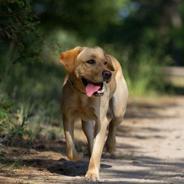 Pourquoi se promener avec son chien